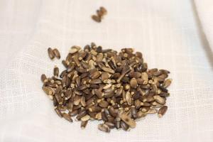 Расторопша: лечебные свойства и противопоказания